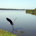 Great blue heron (Robin Shwedo)
